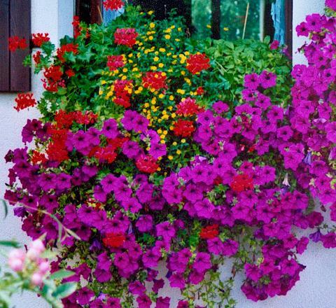 vente directe de plantes pour suspensions et pot es fleuries. Black Bedroom Furniture Sets. Home Design Ideas