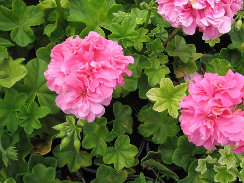 Vente directe de geraniums lierres - Geranium lierre double ...